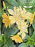 Lewisia cotyledon 'Elise', Левізія туполиста 'Еліс',P7-Р9 - горщик 9х9х9, фото 6