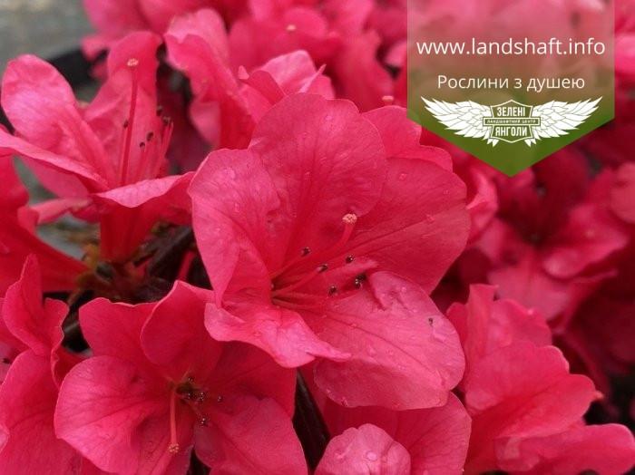 Azalea japonica 'Purpur Kissen', Азалія японська 'Пурпур Кіссен',C2 - горщик 2л
