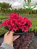 Azalea japonica 'Purpur Kissen', Азалія японська 'Пурпур Кіссен',C2 - горщик 2л, фото 3