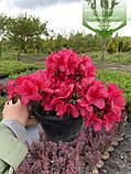 Azalea japonica 'Purpur Kissen', Азалія японська 'Пурпур Кіссен',C2 - горщик 2л, фото 4