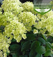 Hydrangea paniculata 'Bombshell', Гортензія волотиста 'Бомбшел',C2 - горщик 2л