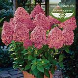 Hydrangea paniculata 'Magical Fire', Гортензія волотиста 'Меджікал Файр',C2 - горщик 2л, фото 2