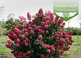 Hydrangea paniculata 'Magical Fire', Гортензія волотиста 'Меджікал Файр',C2 - горщик 2л, фото 3