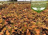 Hydrangea paniculata 'Magical Fire', Гортензія волотиста 'Меджікал Файр',C2 - горщик 2л, фото 4