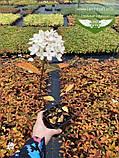 Hydrangea paniculata 'Magical Fire', Гортензія волотиста 'Меджікал Файр',C2 - горщик 2л, фото 5