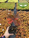 Hydrangea paniculata 'Magical Fire', Гортензія волотиста 'Меджікал Файр',C2 - горщик 2л, фото 6
