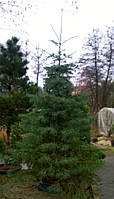 Пихта одноцветная  Abies concolor h2-2,5м