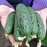 Семена огурца Кассиус F1 (100 сем.) Innova Seeds, фото 4