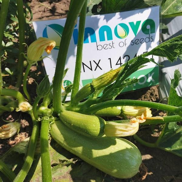 Насіння кабачка Кабачок INX 1424 F1 (500 нас.) Innova Seeds