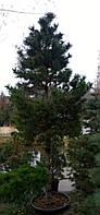 Сосна черная PINUS NIGRA C230L h1,5-1,75м
