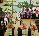 Півонія деревовидна помаранчевий (Paeonia Suffruticosa) сажнів 2год, фото 2