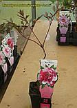 Пион древовидный трехцветный (Paeonia Suffruticosa) сажен 2год, фото 3