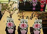 Півонія деревовидна рожево-білий (Paeonia Suffruticosa) сажнів 2год, фото 2