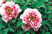 Пион древовидный розово-белый (Paeonia Suffruticosa) сажен 2год