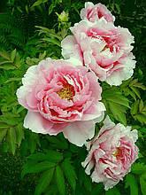 Пион древовидный розовый (Paeonia Suffruticosa) сажен 2год