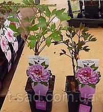 Пион древовидный сиреневый (Paeonia Suffruticosa) сажен 2год