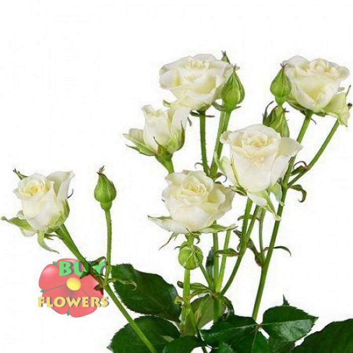 Белая роза спрей Жозефина