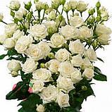 Белая роза спрей Жозефина, фото 5