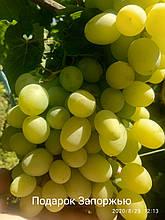 "Саженцы винограда ""Подарок Запорожью"""