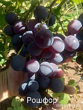 "Саженцы винограда ""Рошфор"""