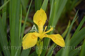 Ирис болотный (жёлтый) (2 л)
