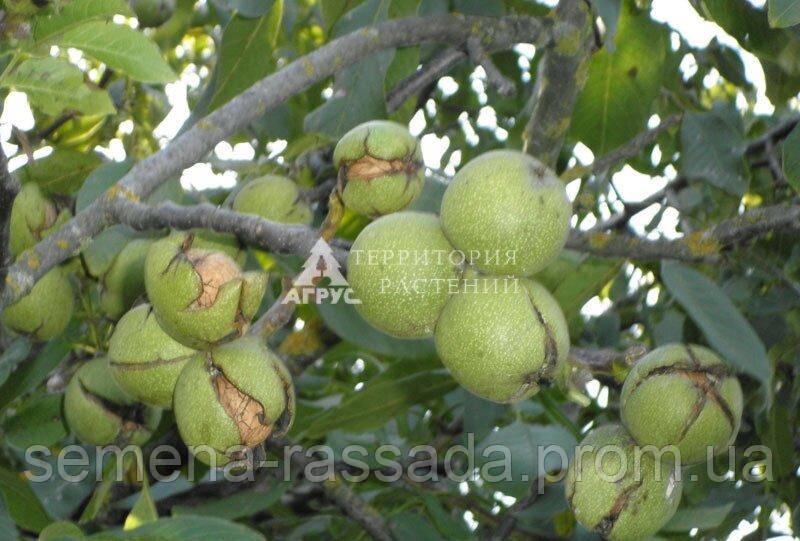 Орех грецкий (4 л, 4 года)