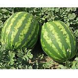Семена арбуза INX 1805 F1 (100 сем.) Innova Seeds, фото 2