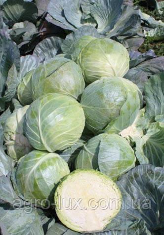 Семена капусты Глоуб Мастер(Компас) F1 50 г  Takii Seeds / ТАКИ СИДС