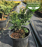 Chamaecyparis obtusa 'Draht', Кипарисовик туполистий 'Драт',C2 - горщик 2л, фото 2