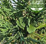 Chamaecyparis obtusa 'Draht', Кипарисовик туполистий 'Драт',C2 - горщик 2л, фото 5