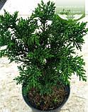 Chamaecyparis obtusa 'Draht', Кипарисовик туполистий 'Драт',C2 - горщик 2л, фото 6
