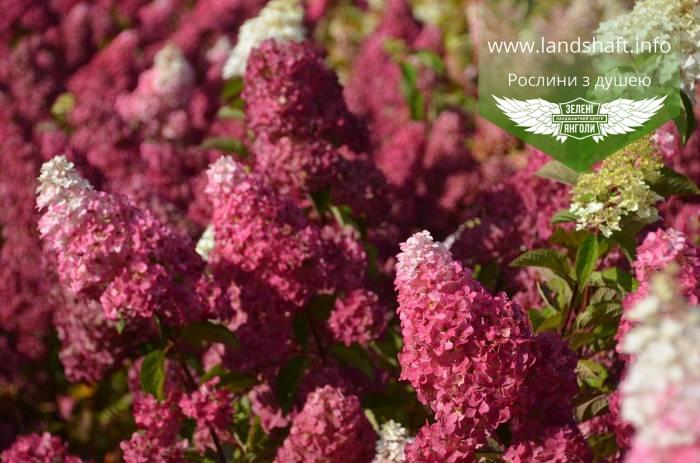 Hydrangea paniculata 'Fraise Melba', Гортензія волотиста 'Фрайз Мельба',C2 - горщик 2л