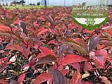 Hydrangea paniculata 'Fraise Melba', Гортензія волотиста 'Фрайз Мельба',C2 - горщик 2л, фото 6