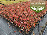 Hydrangea paniculata 'Fraise Melba', Гортензія волотиста 'Фрайз Мельба',C2 - горщик 2л, фото 7