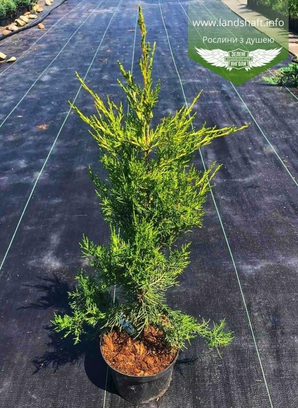 Juniperus chinensis 'Kuriwao Sunbeam', Ялівець китайський 'Курівао Санбім',C2 - горщик 2л