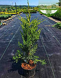 Juniperus chinensis 'Kuriwao Sunbeam', Ялівець китайський 'Курівао Санбім',C2 - горщик 2л, фото 2