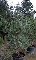 Сосна обыкновенная Pinus sylvestris WATERERII NANA C30L h1-1.25м