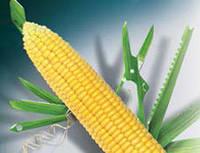 Гибрид кукурузы Делитоп ФАО 220