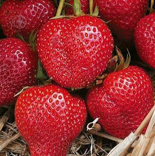 Саженцы клубники (рассада) Румба (Rumba) - очень ранняя, сладкая, крупноплодная