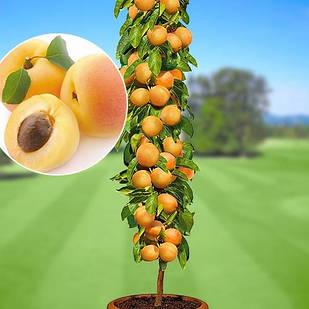 Саджанці колоновидного абрикоса Принц Березень, середнього терміну, великоплідний, соковитий