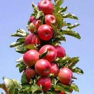 Саджанці Яблуні Джин (КВ-5) - колоновидна, зимова, зимостійка