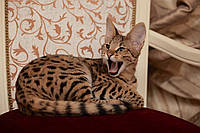Котёнок Саванна Ф1 (Ашера)