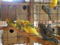 Волнмстые попугайчики