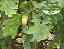 Quercus robur, Дуб звичайний,C2 - горщик 2л