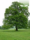 Quercus robur, Дуб звичайний,C2 - горщик 2л, фото 2
