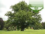 Quercus robur, Дуб звичайний,C2 - горщик 2л, фото 3