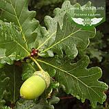 Quercus robur, Дуб звичайний,C2 - горщик 2л, фото 4