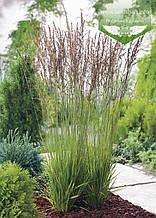 Molinia caerulea 'Heidezwerg', Молінія голуба 'Хейдецверг',C2 - горщик 2л