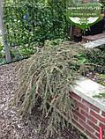 Cotoneaster atropurpureus 'Variegatus', Кизильник атропурпуреа 'Варієгатус',C2 - горщик 2л, фото 2