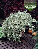 Cotoneaster atropurpureus 'Variegatus', Кизильник атропурпуреа 'Варієгатус',C2 - горщик 2л, фото 3
